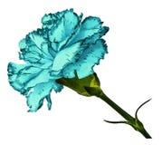Türkisgartennelke Blühen Sie auf t einen Weiß lokalisierten Hintergrund mit Beschneidungspfad Nahaufnahme Keine Schatten Geschoss Lizenzfreies Stockfoto