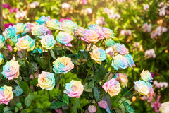 Tęcz róże Obrazy Stock