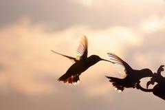 Tęcza hummerów Zwalczać Zdjęcia Stock