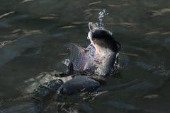 Tęcza pstrąg na wodzie Zdjęcie Royalty Free
