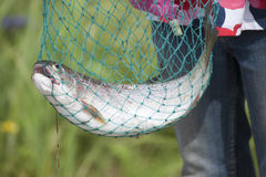 Tęcza pstrąg odbicia Jeziorny Palmer Alaska (Oncorhynchus mykiss) Obraz Stock