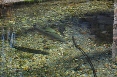 Tęcza pstrąg w wodzie obraz stock
