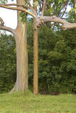 tęczy eukaliptusowy drzewo Obraz Stock
