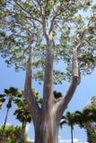 Tęczy Gumowy drzewo zdjęcia stock