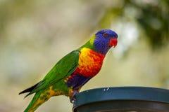 Tęczy lorikeet umieszczający na ptasim dozowniku Fotografia Royalty Free