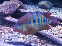 Tęczy ryba zdjęcie stock
