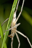 Tęsk ględził trawa pająka zbliżenie Obrazy Stock