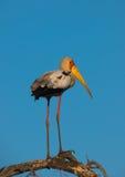 Tęsk Iść na piechotę wystawiający rachunek bocian w Południowa Afryka Zdjęcia Stock