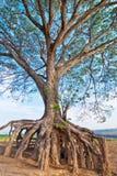 tęsk korzeń Obraz Royalty Free