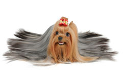 Tęsk pokrywał Yorkshire Terrier z srebnym włosy Zdjęcia Stock