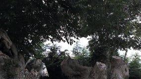 Tęsk Słysząca sowa, asio otus, dorosły w locie, Bierze daleko od drzewa, Normandy w Francja, zdjęcie wideo