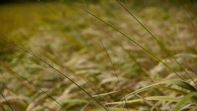 Tęsk suchej trawy huśtawka w wiatrze, potrząsalny pustkowie zbiory