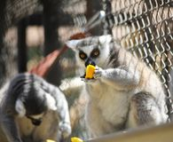tła śmieszny gwinei lunch nad świniowatym portreta czas biel Lemury je kawały żółta owoc Zdjęcie Stock