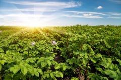 tła śródpolna kwiecenia liczba zasadza biały kartoflane grule Zdjęcia Stock