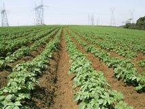 tła śródpolna kwiecenia liczba zasadza biały kartoflane grule Fotografia Stock