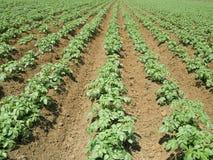 tła śródpolna kwiecenia liczba zasadza biały kartoflane grule Obraz Royalty Free