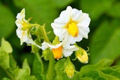 tła śródpolna kwiecenia liczba zasadza biały kartoflane grule Kwiatostan Bush Obraz Stock