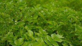 tła śródpolna kwiecenia liczba zasadza biały kartoflane grule Plenerowy w ogródzie zbiory wideo