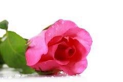 tła świeży odosobniony menchii róży biel Obrazy Stock