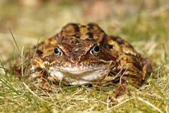 tła żaby trawy rana temporaria biel Zdjęcie Royalty Free