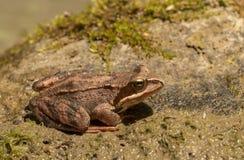 tła żaby trawy rana temporaria biel Zdjęcia Royalty Free