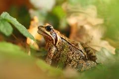 tła żaby trawy rana temporaria biel E Zdjęcia Stock