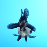 tła błękit fantazi goldfish Fotografia Stock