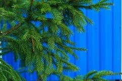 tła błękit gałąź sezonu nieba świerczyny zima Fotografia Royalty Free