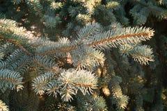 tła błękit gałąź sezonu nieba świerczyny zima Fotografia Stock
