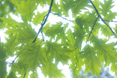 tła błękit opuszczać dębowego niebo Zdjęcia Royalty Free