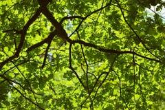 tła błękit opuszczać dębowego niebo Fotografia Stock