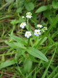 tła błękit zakończenia dof kwiaty zapominają trawy zieleń trochę nie ja łąki nie rośliny płycizna Zdjęcia Royalty Free