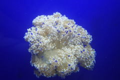 tła błękitny jellyfish tapeta Obraz Royalty Free