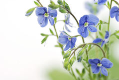tła błękitny kwiatu biel Zdjęcia Royalty Free