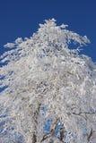 tła błękitny zakrywający nieba śniegu drzewo Obrazy Royalty Free