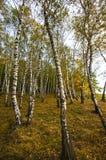 tła Baikal brzozy jeziora drzewo Zdjęcie Royalty Free