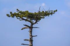 tła Baikal jeziora sosna Obrazy Stock