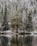 tła Baikal jeziora sosna zdjęcie royalty free