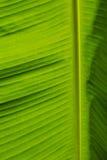 tła banana liść Zdjęcie Royalty Free