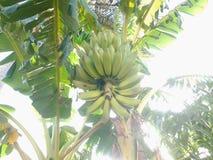 tła bananowej wiązki odosobniony biel Zdjęcia Stock