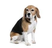 tła beagle przodu obsiadania biel fotografia stock