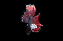 tła betta czerń ryba Fotografia Stock