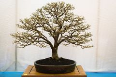tła bonsai odosobniony drzewny biel fotografia stock