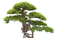 tła bonsai wiązu zieleni drzewny biel Zdjęcie Stock