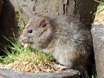 tła brąz zakończenia portreta szczur w górę biel Zdjęcie Stock