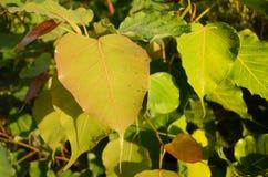 Tła brązu zieleni liść Fotografia Royalty Free