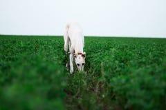 tła być prześladowanym łowieckiego labradora biel kolor żółty Zdjęcie Stock