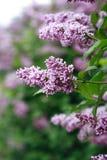 tła bzu purpury Zdjęcia Stock