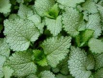 tła coleus zieleni liść Zdjęcia Royalty Free