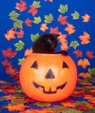 tła czarny błękitny kota bania Fotografia Royalty Free